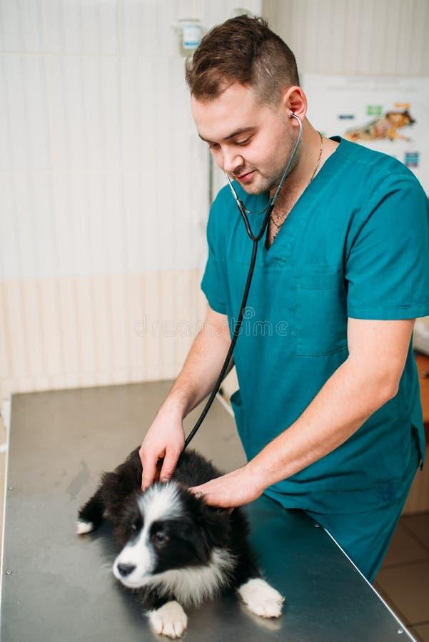 Manlig veterinär- undersökande hund, veterinär- klinik royaltyfri bild
