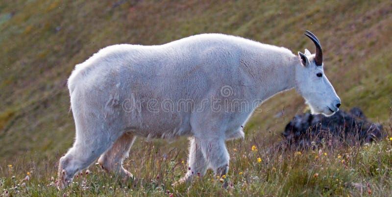 Manliga Billy Mountain Goat på orkankullen/Ridge i olympisk nationalpark i port Angeles Washington State royaltyfri foto