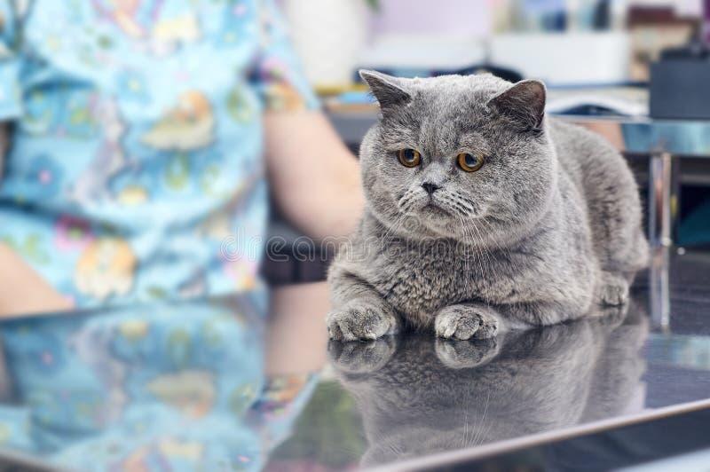 Manliga brittiska Shorthair som ligger på metalltabellen i veterinär- klinik royaltyfria foton