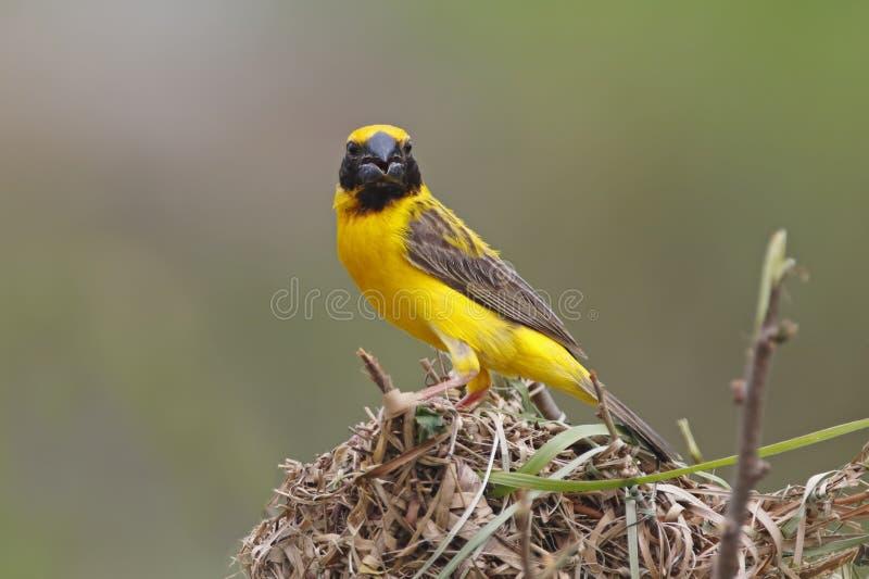 Manliga fåglar för asiatisk guld- Weaver Ploceus hypoxanthus som bygger redet royaltyfri bild