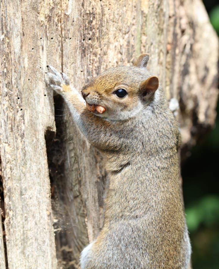 Manliga Grey Squirrel arkivbild
