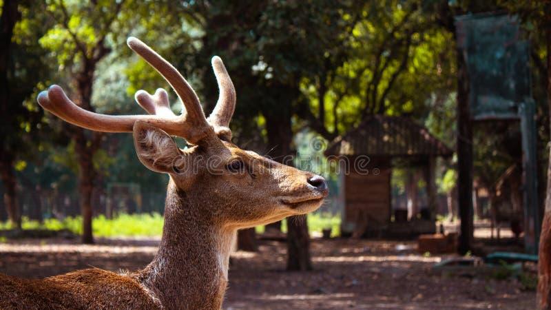Manliga hjortar som framåtriktat ser royaltyfri foto