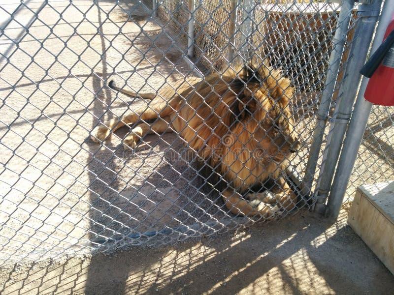 Manliga lejon som tittar igenom stängslet på Lion Habitat Ranch royaltyfri fotografi