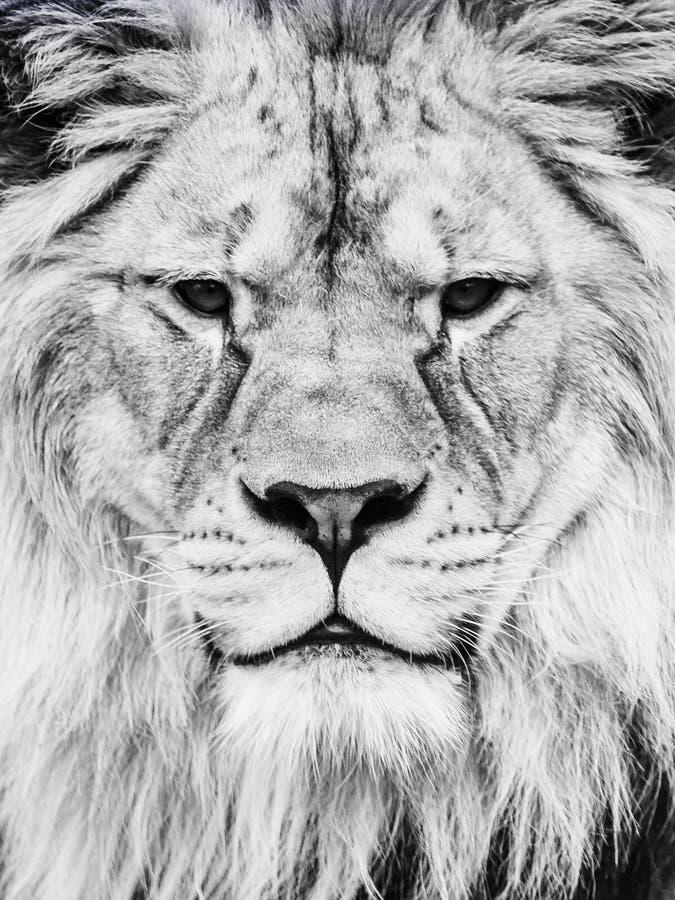 Manliga Lion Face Närbildstående av den enorma afrikanska kattdjuret Svartvit bild arkivfoto