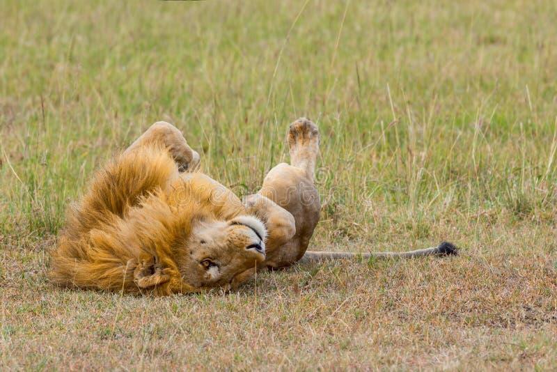 Manliga Lion Rolling On Back royaltyfria foton