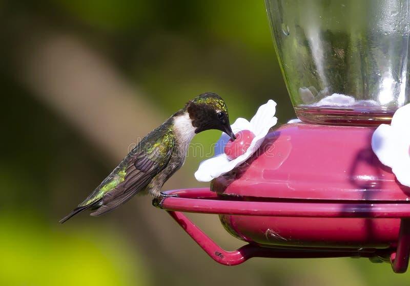 Manliga rubin-throated kolibriArchilochuscolubris på förlagemataren, fotografering för bildbyråer