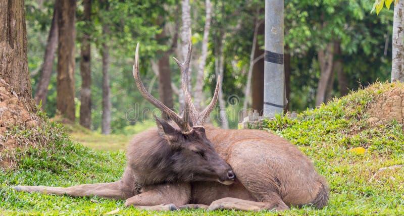 Manliga Samber för Closeup hjortar på den Khao Yai nationalparken, Thailand royaltyfria bilder