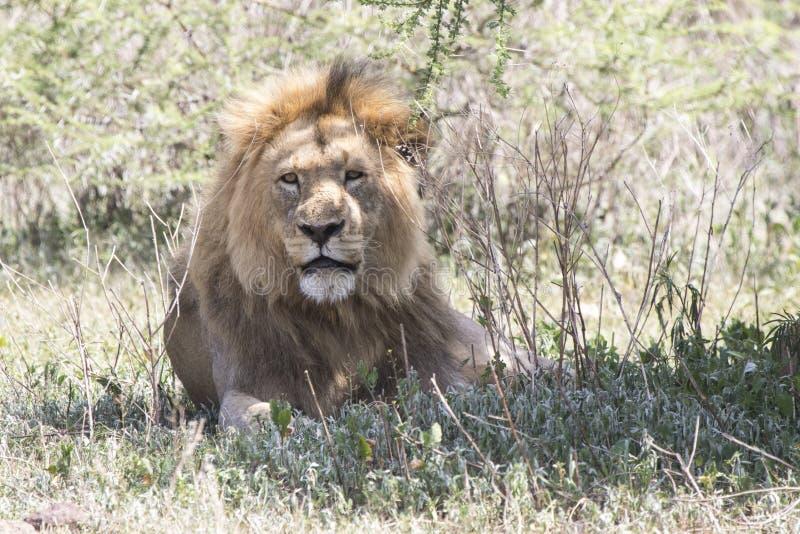 Manligt afrikanskt lejon som vilar under ett träd i Ngorongoroen royaltyfri fotografi
