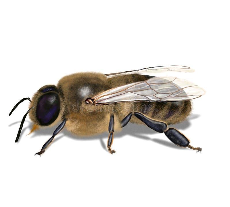 Manligt bi som äter honung stock illustrationer
