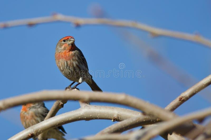 Manligt hus Finch Perched på en filial i ett träd fotografering för bildbyråer