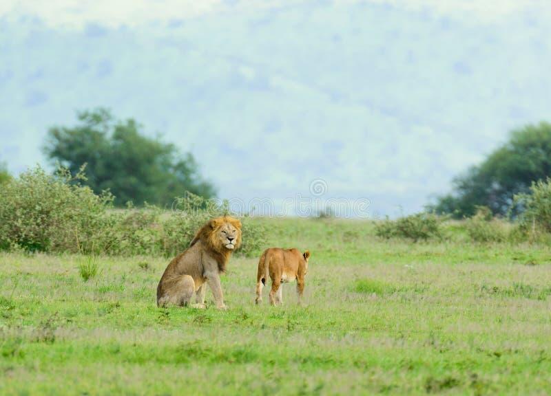 Manligt & kvinnligt lejon i Serengetien fotografering för bildbyråer