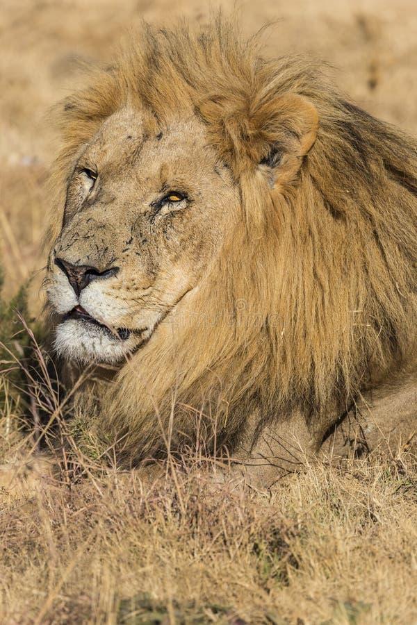 Manligt lejon för fången royaltyfri foto