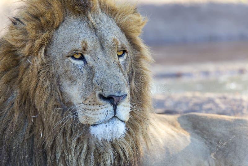 manligt lejon för fången med huvud- och framsidadetaljen fotografering för bildbyråer