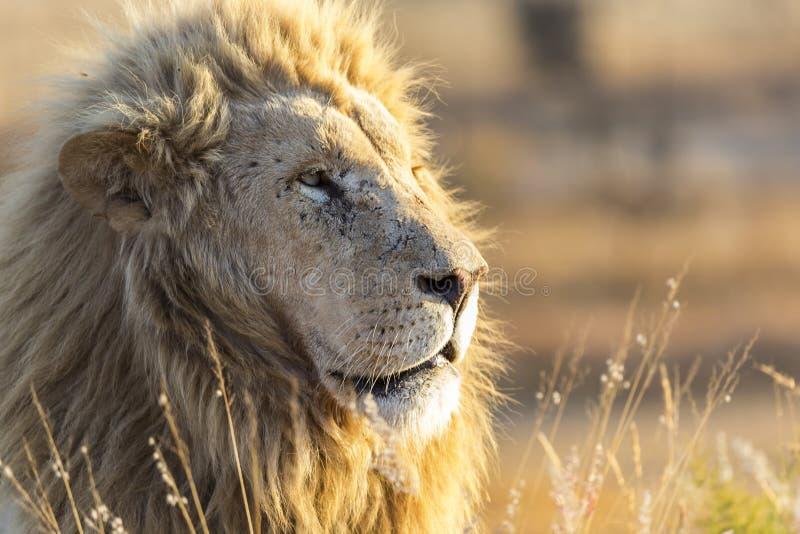 manligt lejon för fången som är bakbelyst vid varmt solljus royaltyfri fotografi