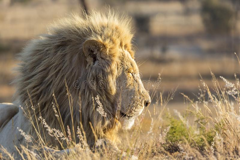 manligt lejon för fången som är bakbelyst vid varmt solljus royaltyfria foton