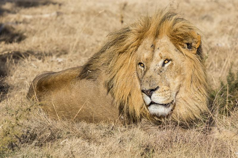Manligt lejon för fången fotografering för bildbyråer