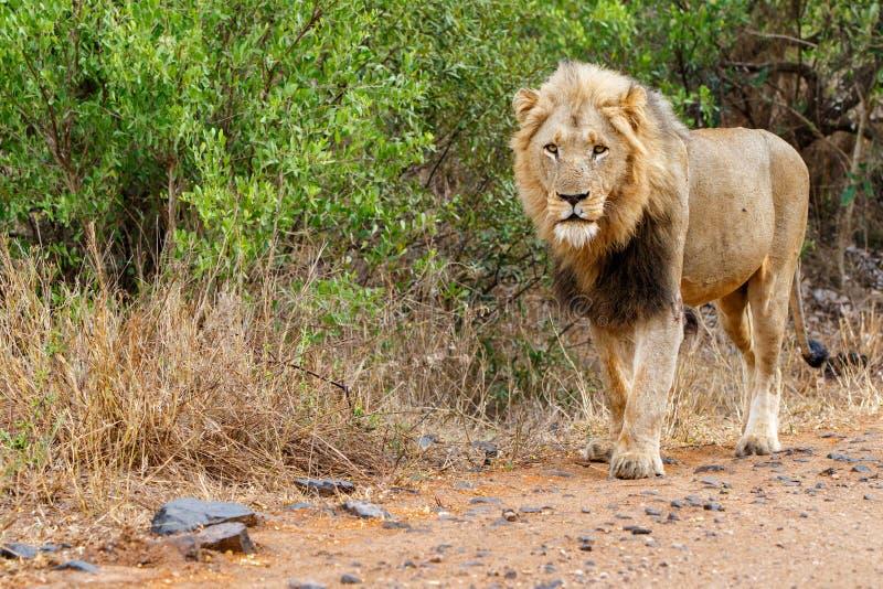 Manligt lejon i Kruger NP - Sydafrika royaltyfri bild