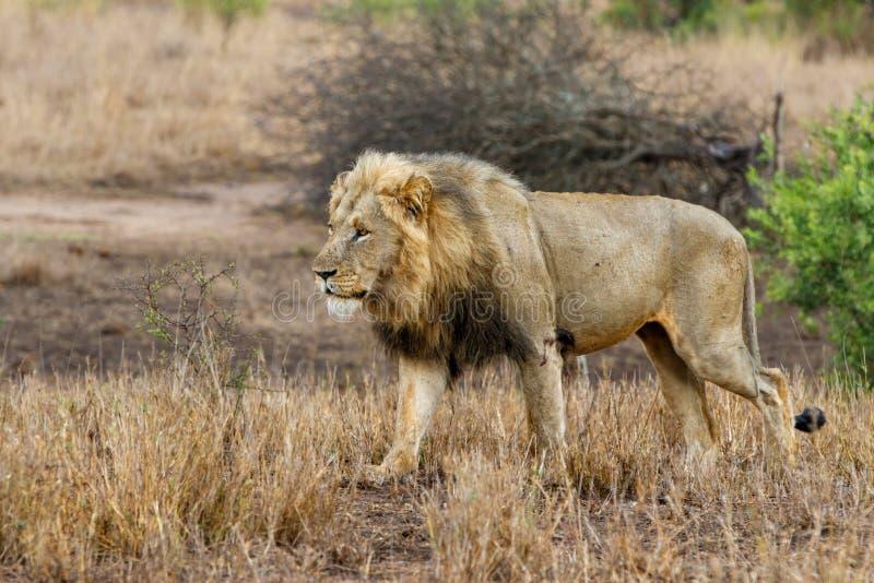 Manligt lejon i Kruger NP - Sydafrika arkivbilder