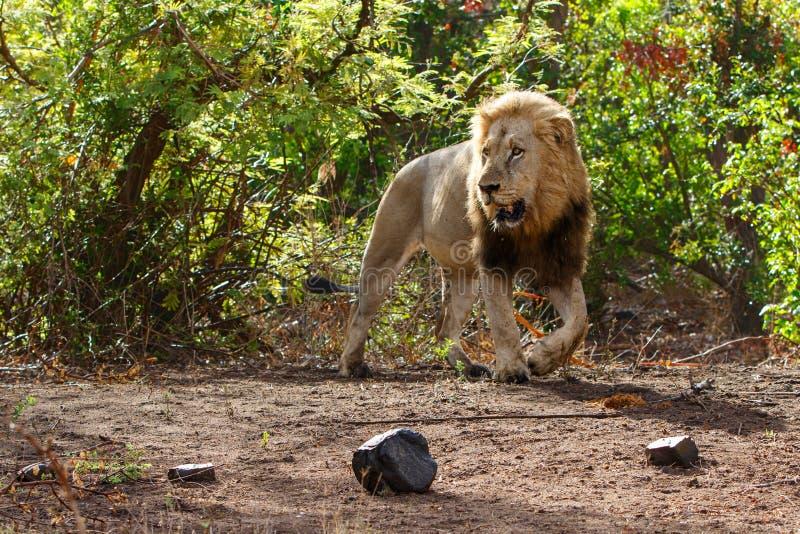 Manligt lejon i Kruger NP - Sydafrika royaltyfria foton