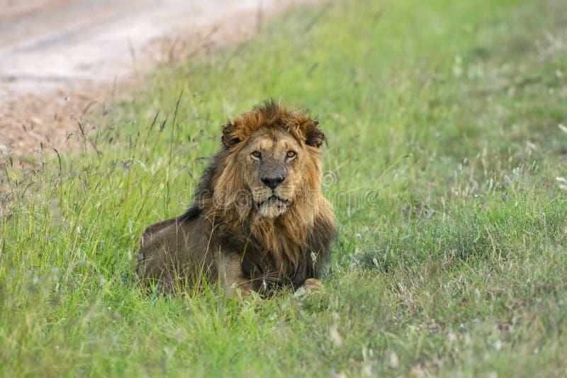 Manligt lejon, Panthera leo, Maasai Mara, Kenya, Afrika royaltyfri foto