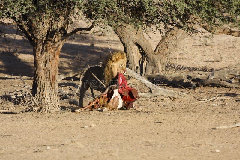 Manligt lejon som äter en dödoryxantilop arkivfoto