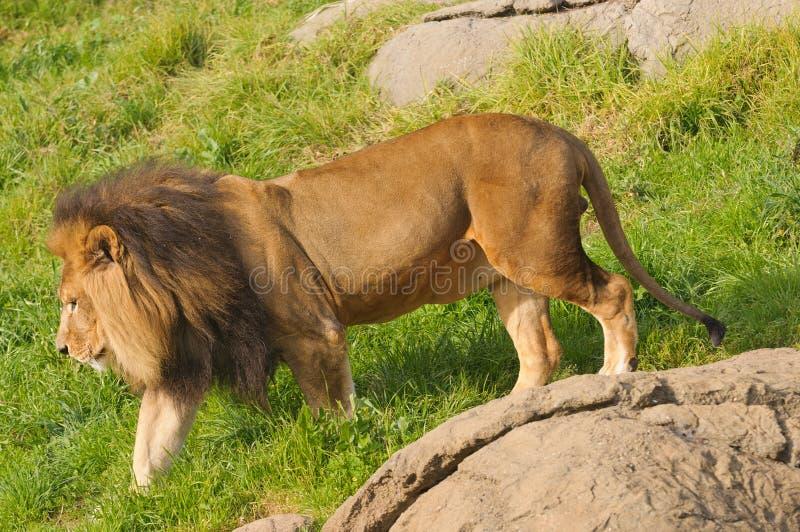 Manligt lejon som går för en gå arkivbild