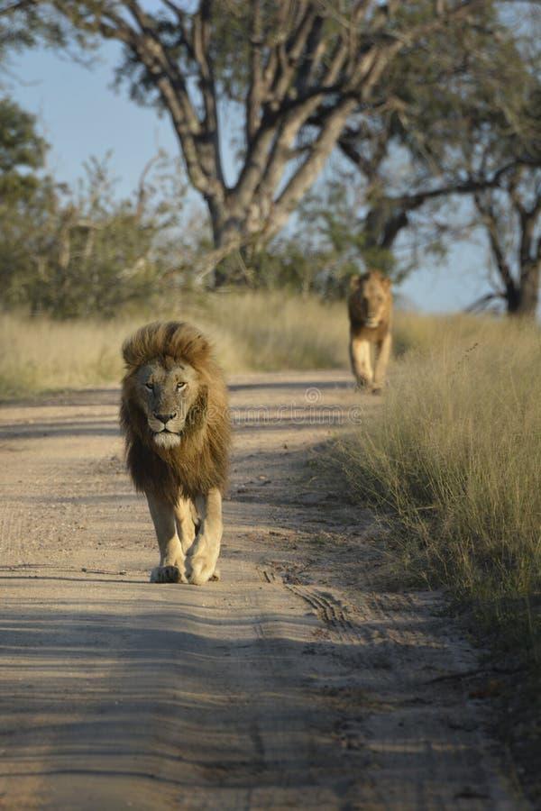 Manligt lejon som går på en sandväg med det kvinnliga lejonet på bakgrunden royaltyfri fotografi