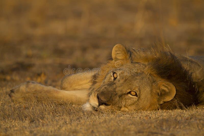 Manligt lejon som ligger se ner kameran royaltyfria bilder