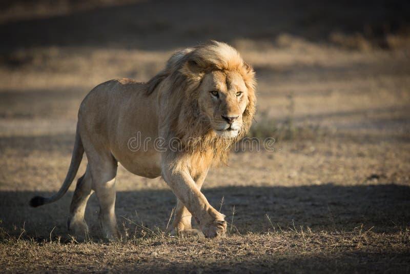 Manligt lejon som patrullerar territoriet i Ndutu, Serengeti, Tanzania royaltyfri fotografi