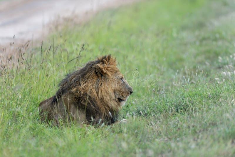 Manligt lejon som reaxing i grasst på masaien Mara Game Reserve, Kenya royaltyfria bilder
