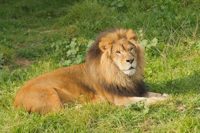 Manligt lejon som vilar efter ett mål arkivbild