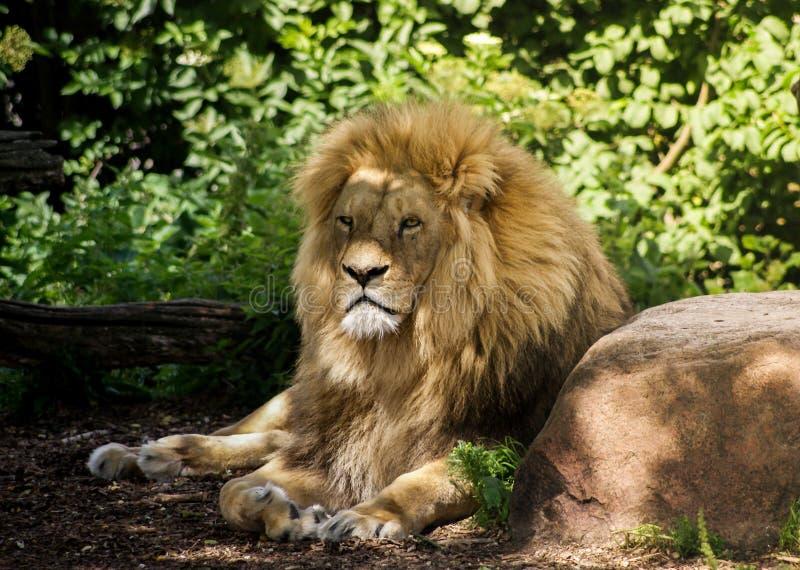 Manligt lejon som vilar i skugga royaltyfria bilder
