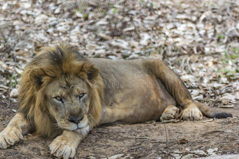 Manligt lejon - vila under treeshade/lövverk arkivfoton