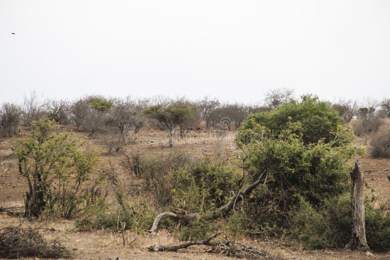 Manligt lejonnederlag i den afrikanska savannahbusken, Kruger nationalpark Sydafrika arkivbild