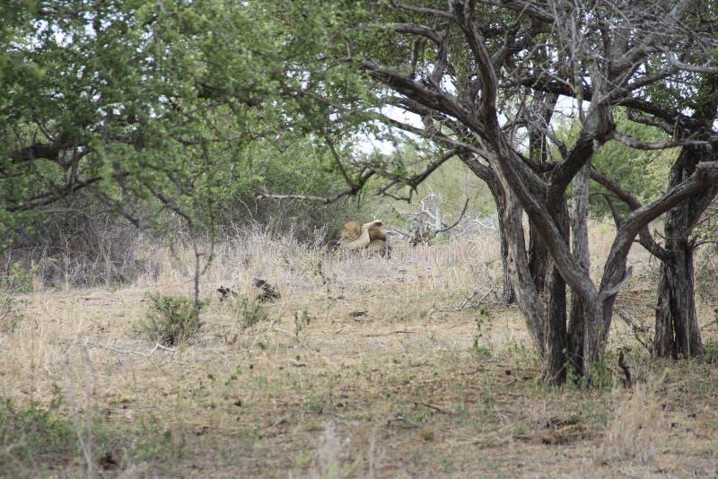 Manligt lejonnederlag i den upptagna busken slicka hans testiklar, Kruger NP Sydafrika royaltyfria bilder