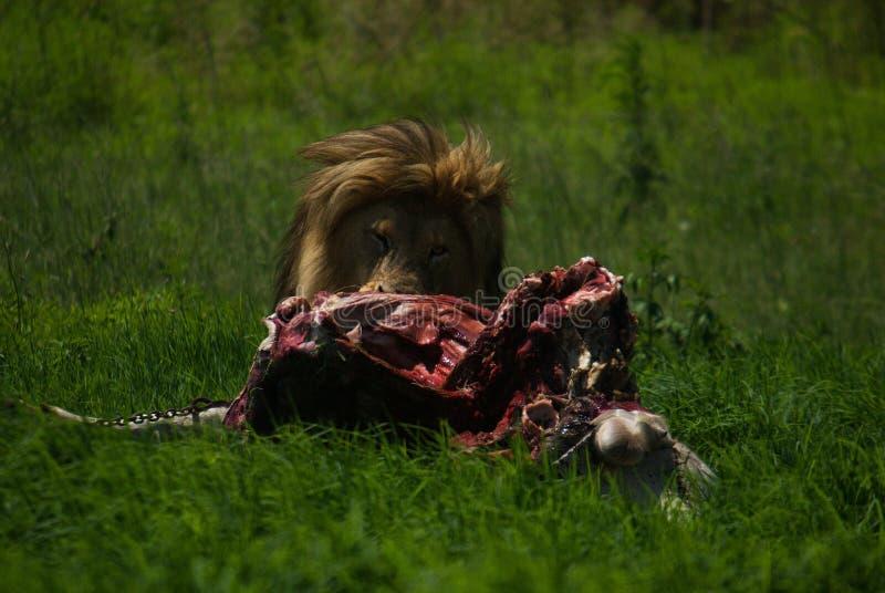 Manligt lejons jakt royaltyfria foton