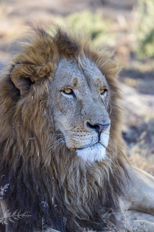 manligt lejonslut för fången upp detaljen av huvudet och man royaltyfri bild