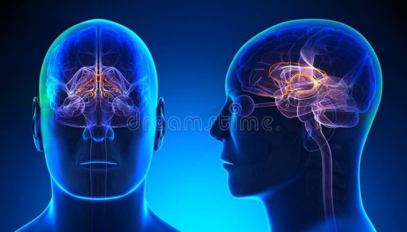 Manligt Limbic system Brain Anatomy - blått begrepp stock illustrationer