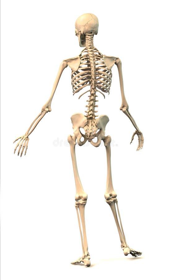 Manligt mänskligt skelett, i dynamisk ställing, bakre sikt. stock illustrationer