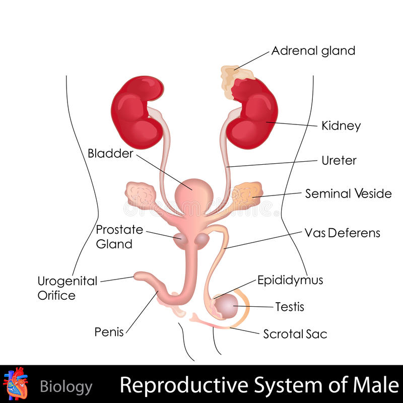 Manligt reproduktivt system stock illustrationer