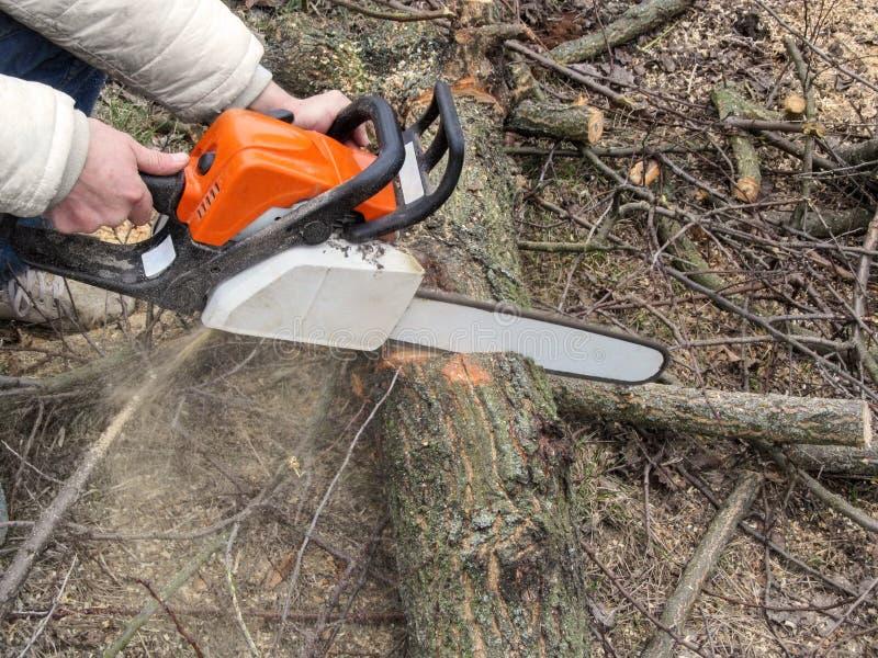 Manligt såga för händer en trädstam på jordningen och sågspånflyg från chainsawen Klippa träd för vedträ, en man med en chainsaw arkivfoton
