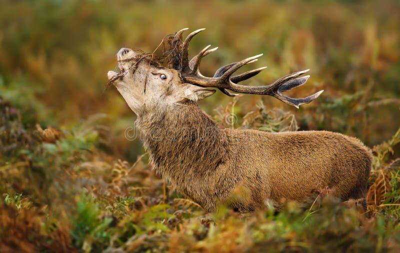 Manligt vråla för röda hjortar under den brunstiga säsongen arkivfoto