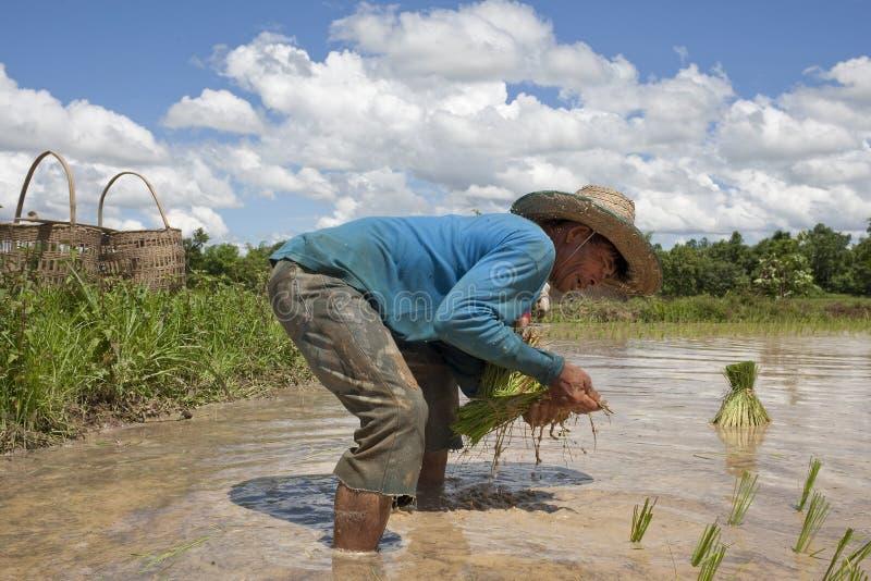 Mann arbeitet an dem Paddyfeld, Asien lizenzfreie stockfotografie