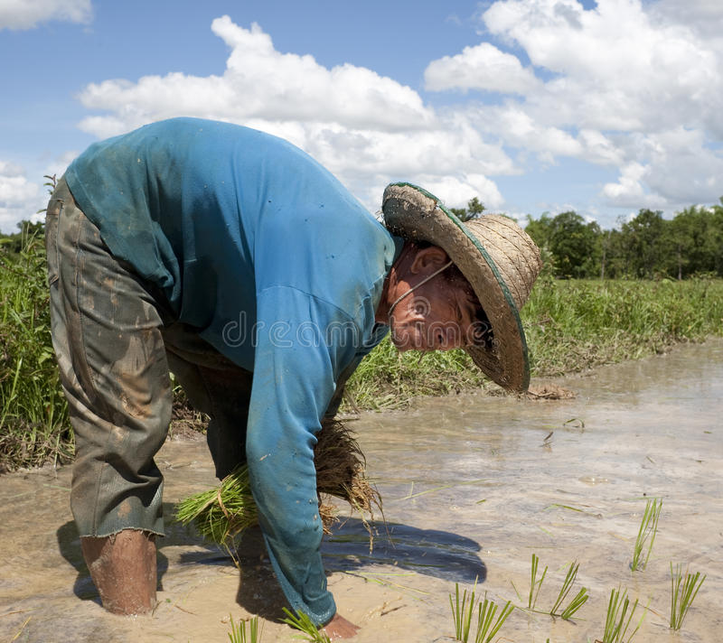 Mann arbeitet an dem Paddyfeld, Asien stockfotografie