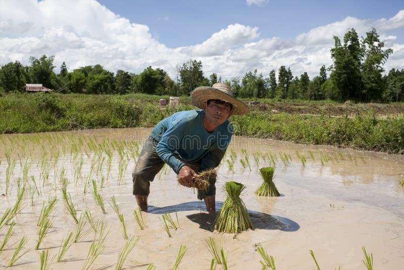 Mann arbeitet an dem Paddyfeld, Asien stockfotos