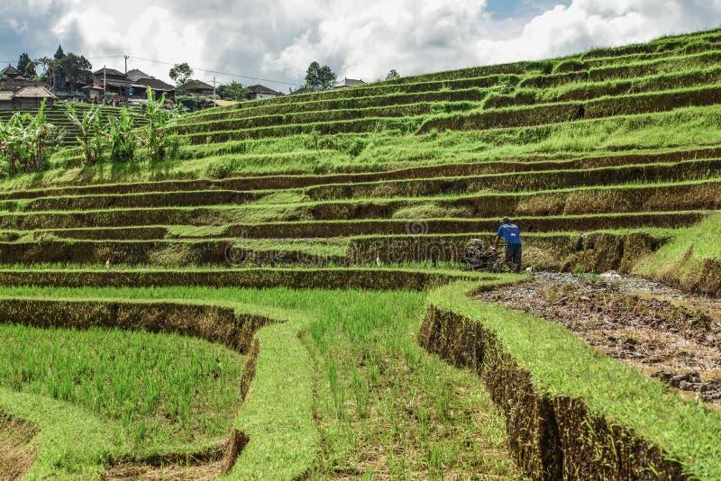 Mann arbeitet an grünen Reisfeldern lizenzfreies stockbild