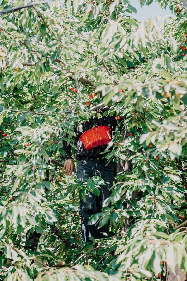 Mann auf Baum sammelt rote Kirsche lizenzfreies stockbild