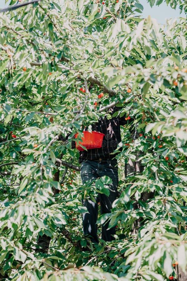 Mann auf Baum sammelt rote Kirsche lizenzfreie stockfotos