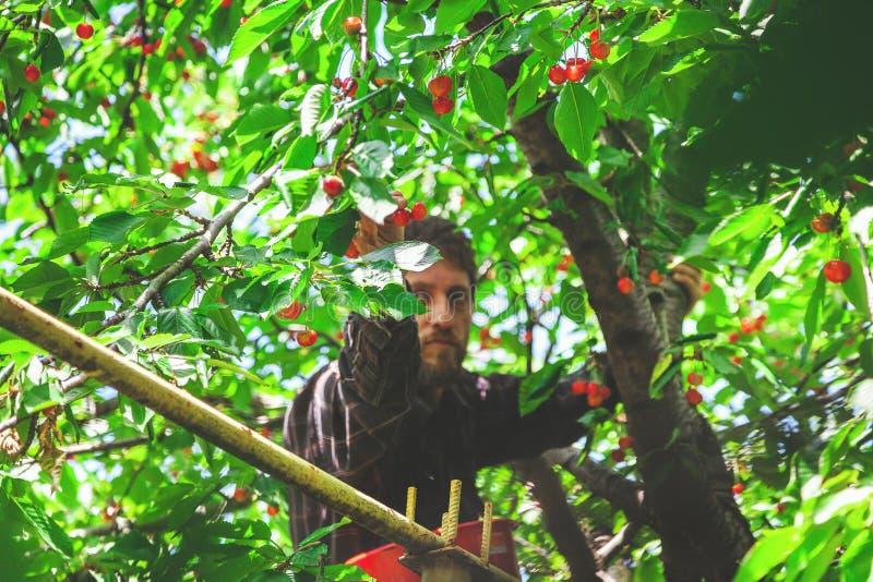 Mann auf dem Baum, der rote Kirsche erntet stockfotos