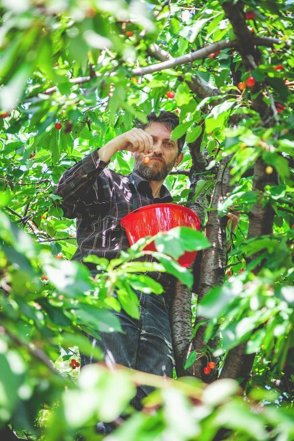 Mann auf dem Baum, der rote Kirsche erntet lizenzfreies stockbild